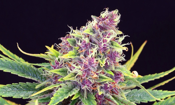 purplekush